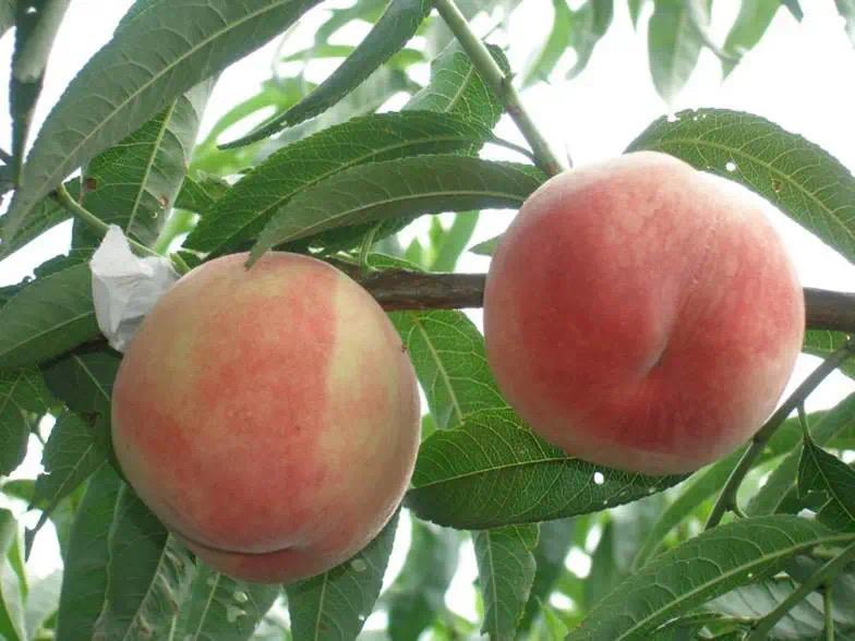 桃优质新品种与高效栽培技术