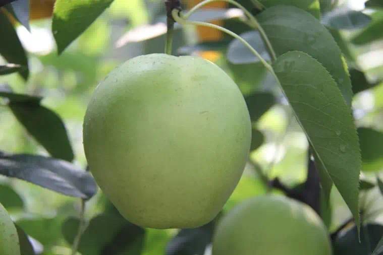 梨优质新品种、新技术和新装备