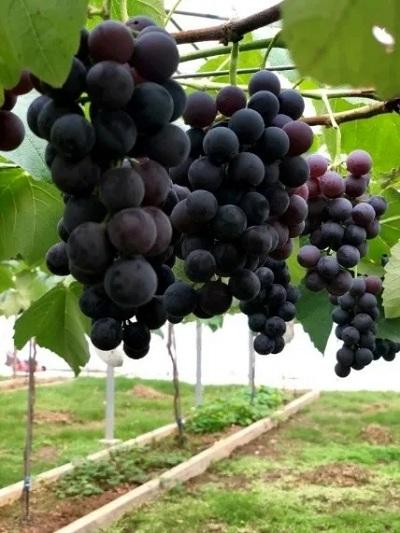 特色果品和高效栽培技术