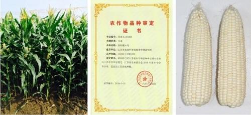 玉米新品种和高效栽培技术